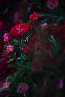 Red chrysanthemum, blurred view - p1640m2242040 by Holly & John