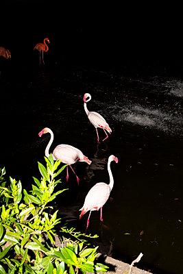 Flamingos at night - p712m2082635 by Jana Kay