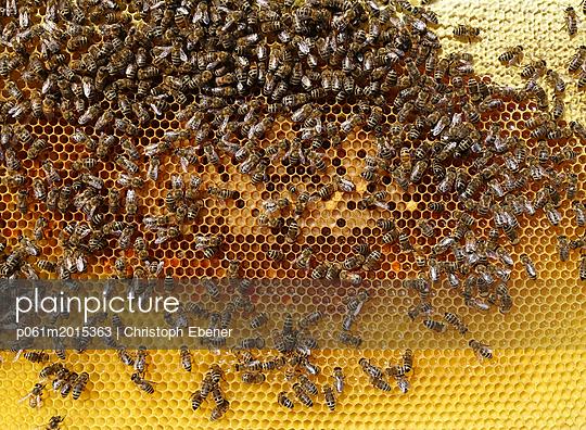 Bienenstock: Honigwabe mit Pollen und Brut - p061m2015363 von Christoph Ebener