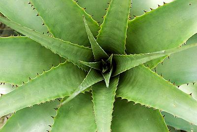 Deuterocohnia Brevispicata - p1050130 von André Schuster