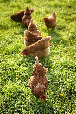Freilandhühner - p1273m1578255 von melanka