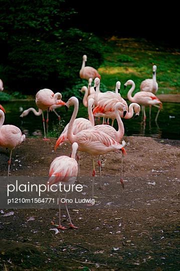 Flamingos im Zoo von Münster - p1210m1564771 von Ono Ludwig