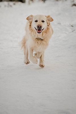 Goldern Retriever running in the snow - p1628m2260829 by Lorraine Fitch