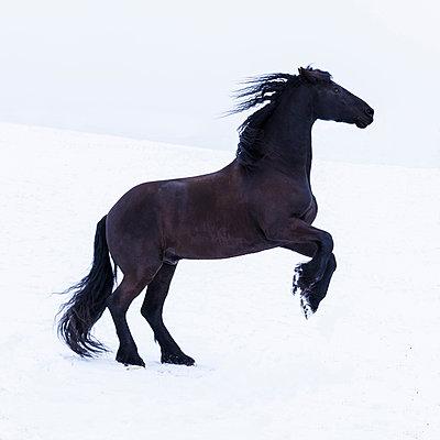 Frisian horse in winter - p300m2005363 von Tom Chance