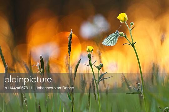 Green-veined White  resting on flower - p1144m967311 by Johannes van Donge