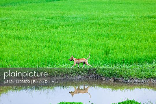 Hund am Reisfeld - p842m1123820 von Renée Del Missier