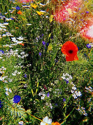 Flowering perennials - p1189m2263779 by Adnan Arnaout
