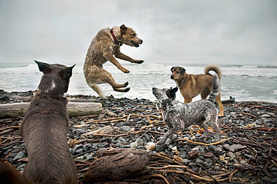 Dogs fighting on beach - p4429651f by Design Pics