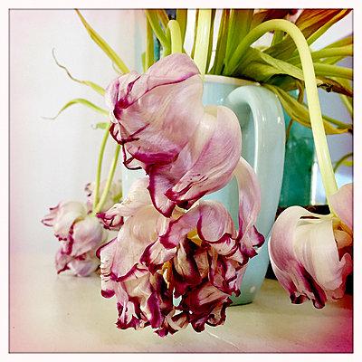 Verwelkte Tulpe - p979m1220429 von Ulrike Schacht