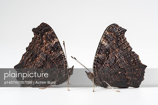 European peacock, Inachis io - p1437m2057095 by Achim Bunz