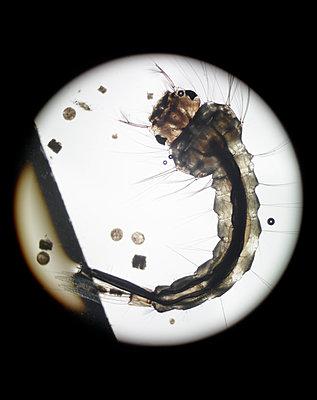 Mückenlarve - p250m1465537 von Christian Diehl