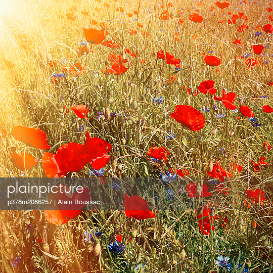 A Poppies Melody - p378m2086257 by Alain Boussac