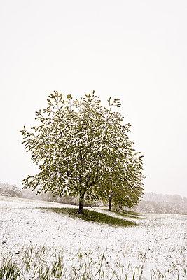Kirschbäume verschneit im Frühling und Schneefall - p1312m2089649 von Axel Killian