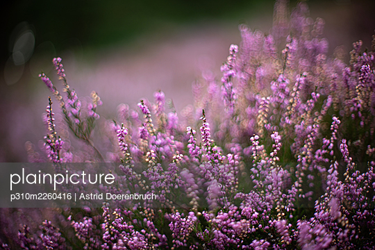 Blooming heather - p310m2260416 by Astrid Doerenbruch