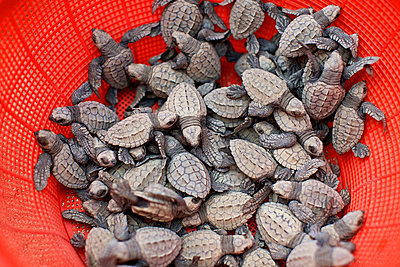 Baby turtles in red strainer - p301m2122977 by Nik West