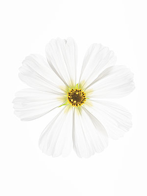 Cosmos flower - p401m2037637 by Frank Baquet