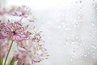 Blumen am Fenster - p781m1000181 von Angela Franke
