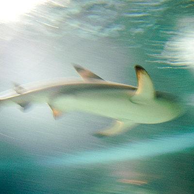 Shark - p5679525 by Gina van Hoof
