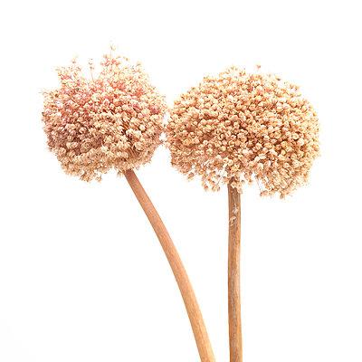 Garlic Flowers - p813m948638 by B.Jaubert