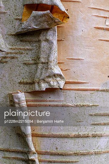 Silver Birch Tree  - p1228m2215094 by Benjamin Harte