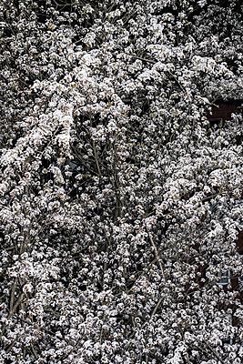 Kirschblüte - p1059m1171732 von Philipp Reiss