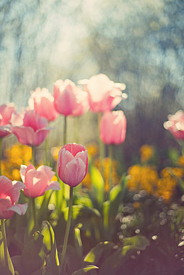 Pink tulips - p1152m940140 by Susan Fox