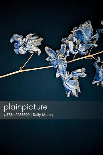 Dried blue flower - p378m2235500 by Sally Mundy
