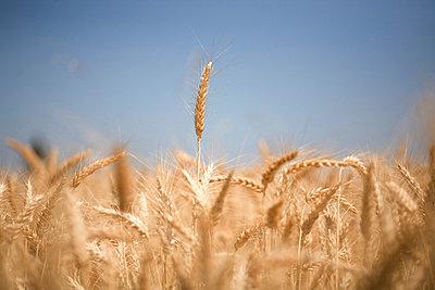 Wheat field, Oregon, USA - p4429490f by Design Pics