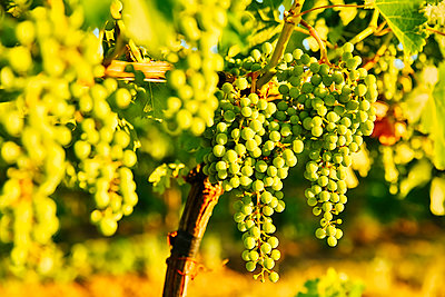 Close up of grapes growing on vine in vineyard - p555m1415538 by Inti St Clair photography