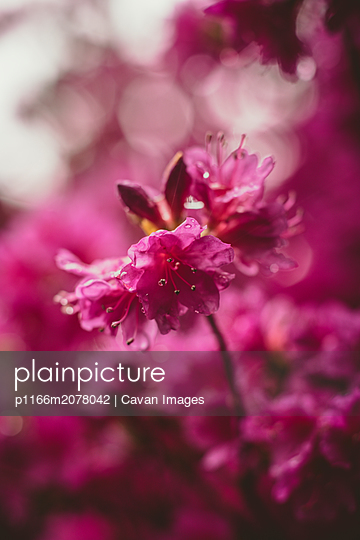 Azalea Flower after the Rain - p1166m2078042 by Cavan Images