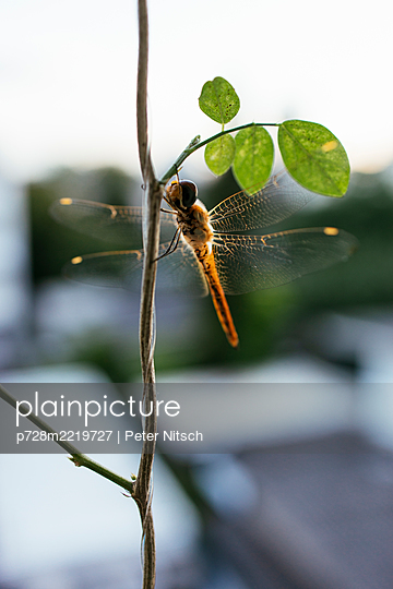 Thailand, Bangkok, Dragonfly on balcony - p728m2219727 by Peter Nitsch