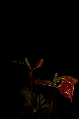 Flamingoblume vor schwarzem Hintergrund - p1199m1039819 von Claudia Jestremski
