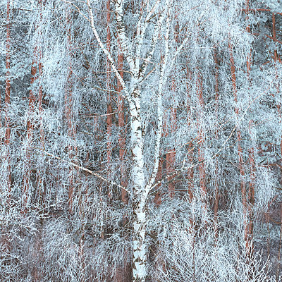 Hoar frost on birch branches  - p1653m2259837 by Vladimir Proshin
