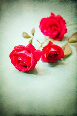 Rose Stems  - p1248m2092502 by miguel sobreira