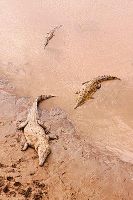 Crocodiles in Mud - p4342845f by Donna Eaton