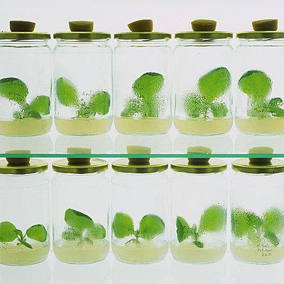 Setzlinge in Gläsern im Labor - p4737848f von STOCK4B-RF