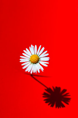 Daisy - p873m2258668 by Philip Provily