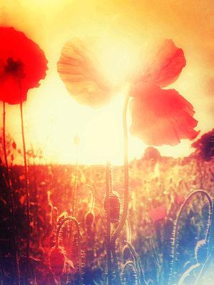 Poppies - p1057m1034328 by Stephen Shepherd