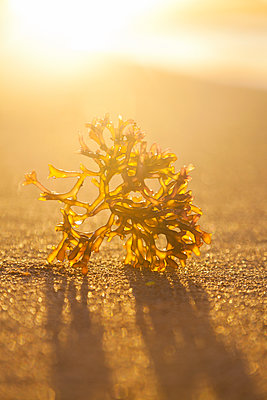 Yellow-green Limu seaweed on the beach with sun flare behind; Honolulu, Oahu, Hawaii, United States of America - p442m1499774 by Brandon Tabiolo