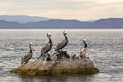 Adult brown pelicans (Pelecanus occidentalis), Isla Ildefonso, Baja California Sur, Mexico, North America - p871m1067023f by Michael Nolan