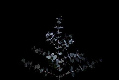 Eukalyptus - p1338m2228502 von Birgit Kaulfuss