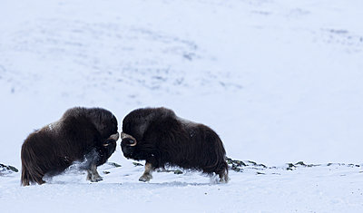 muskoxen fighting in the snow, Ovibos Moschatus, Dovrefjell national park, Norway - p343m1173419 by Raffi Maghdessian
