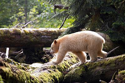Kermode Bear - p884m864092 by Matthias Breiter