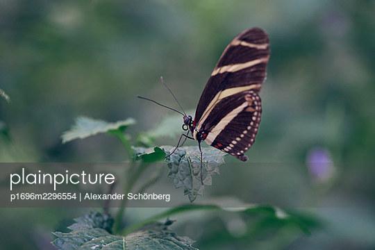 Butterfly on a leaf - p1696m2296554 by Alexander Schönberg