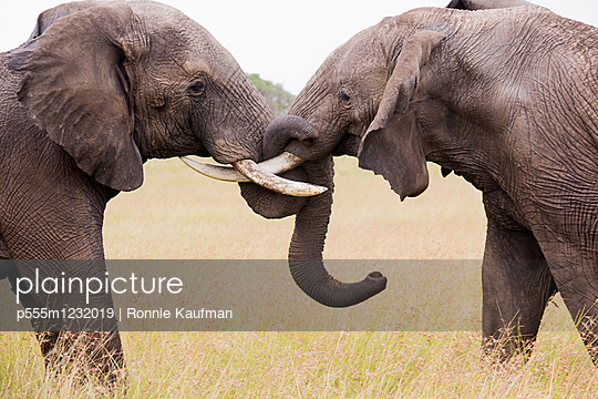 Elephants with intertwined trunks