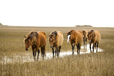 Wild Horses along the Outer Banks of North Carolina. - p1166m2130869 by Cavan Images