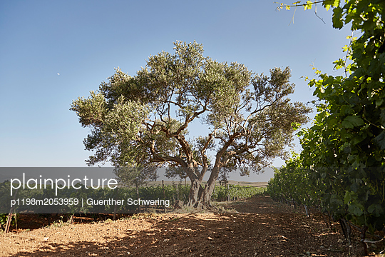 Olive tree next to vineyard - p1198m2053959 by Guenther Schwering