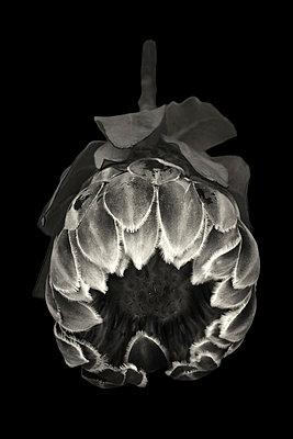 Exotische Blume - p977m1137391 von Sandrine Pic