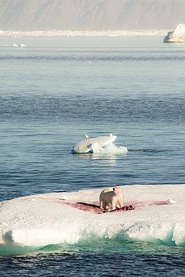 Eisbär mit Beutetier - p1486m2082901 von LUXart