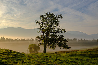 Germany, Nantesbuch, oak tree at morning mist - p300m2059231 by Lisa und Wilfried Bahnmüller